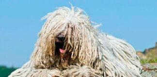 perro-komondor-posado-sobre-una-roca