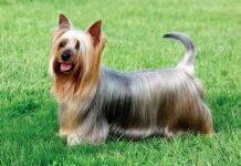 perro-Australian-silky-terrier