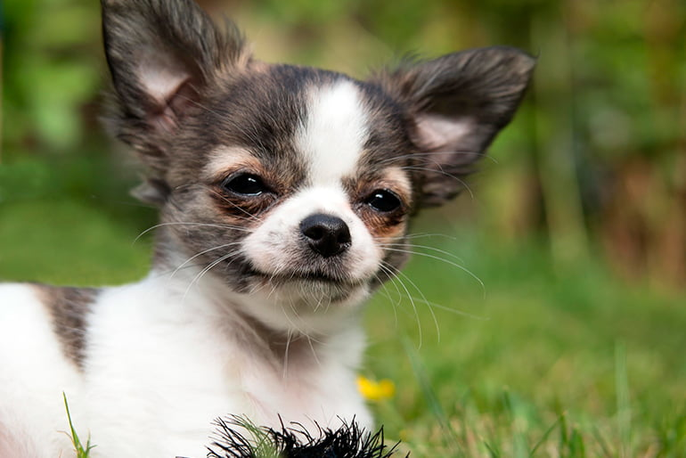 """chihuahua-dog-in-the-garden """"width ="""" 770 """"height ="""" 514 """"srcset ="""" https://soyunperro.com/wp-content/uploads/2020/10/chihuahua-en-el-jardin .jpg 770w, https://soyunperro.com/wp-content/uploads/2020/10/perro-chihuahua-en-el-jardin-300x200.jpg 300w, https://soyunperro.com/wp-content/uploads /2020/10/perro-chihuahua-en-el-jardin-768x513.jpg 768w, https://soyunperro.com/wp-content/uploads/2020/10/perro-chihuahua-en-el-jardin-696x465. jpg 696w, https://soyunperro.com/wp-content/uploads/2020/10/perro-chihuahua-en-el-jardin-629x420.jpg 629w """"tailles ="""" (largeur max: 770px) 100vw, 770px"""