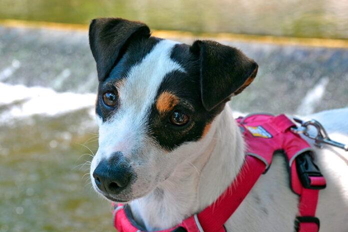 Collier ou harnais pour votre chien Quoi de mieux?