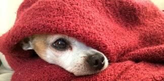 perro-con-frío-entre-mantas