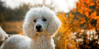 perro-de-agua-con-el-pelo-blanco
