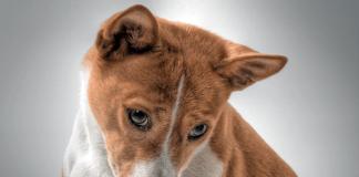 perro-de-raza-basenji