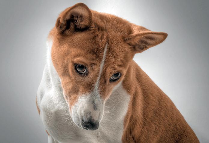 chien de race basenji