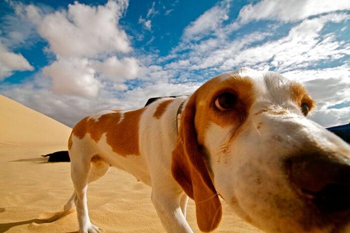 Races de chiens qui résistent le mieux à la chaleur