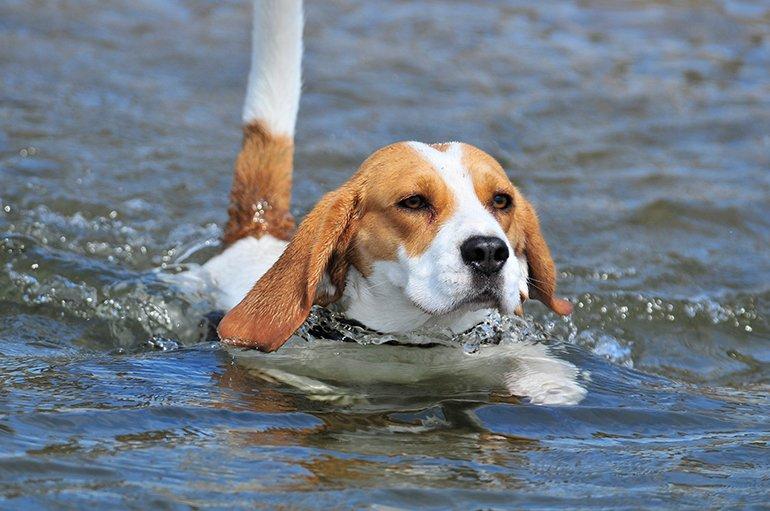 Est-ce que tous les chiens savent nager?