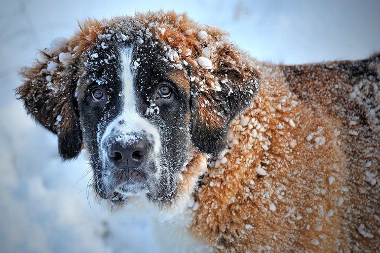 Quand fait-il trop froid pour votre chien?