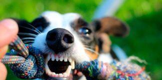 perro-gruñe-mientras-juega