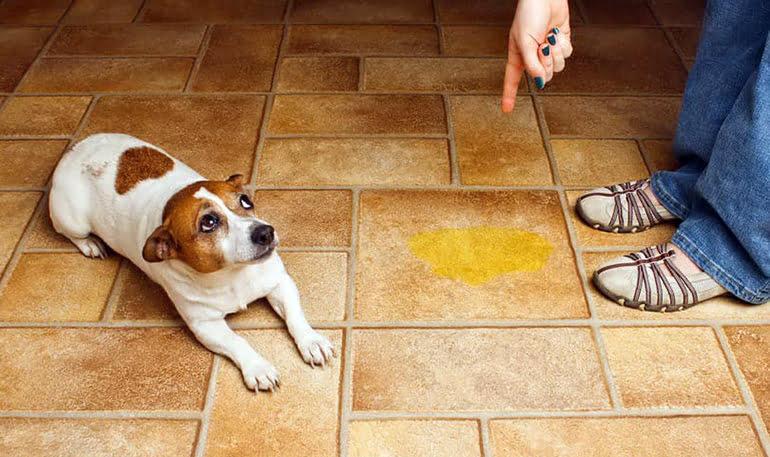 Comment empêcher mon chien de marquer un territoire