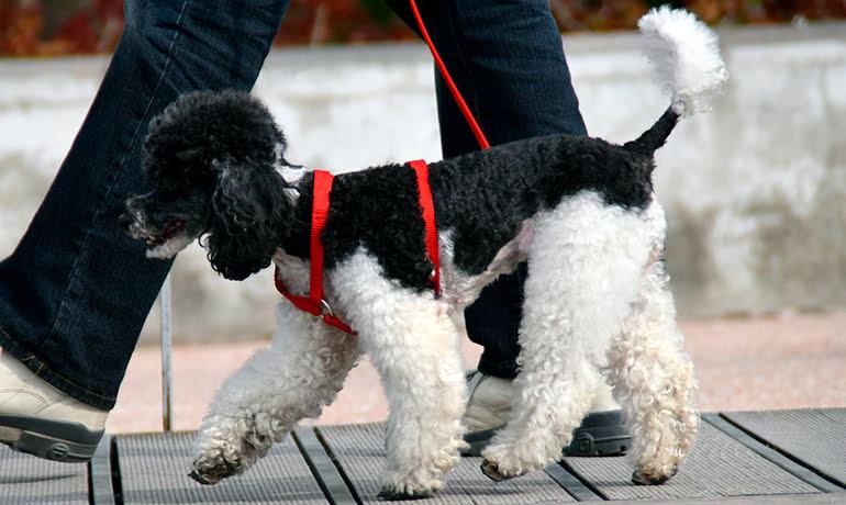 Combien de fois par jour dois-je promener mon chien?