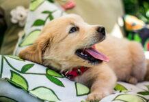 perro-tras-marcar-el-sofá