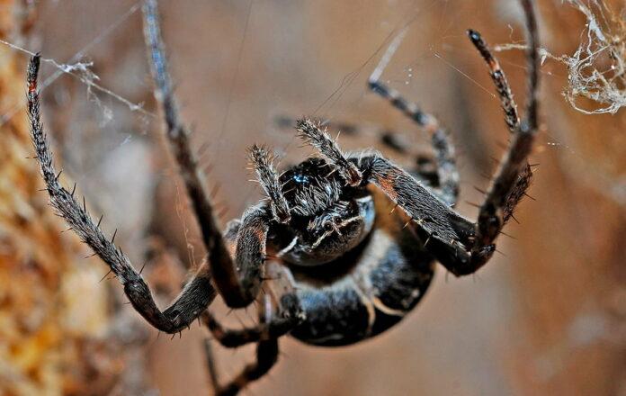 Morsure d'araignée chez les chiens