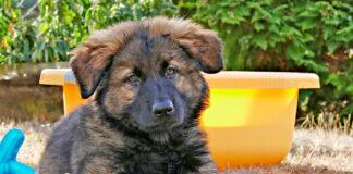 cachorro-de-raza-grande