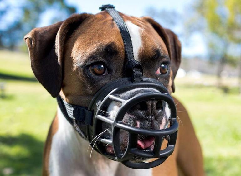 Comment habituer un chien au museau