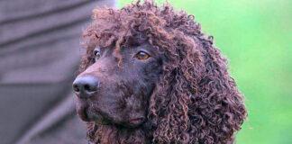 perro-de-agua-irlandés-color-hígado