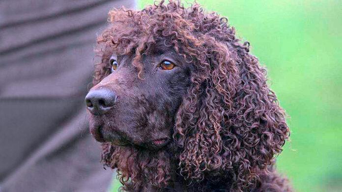 chien d'eau irlandais couleur foie