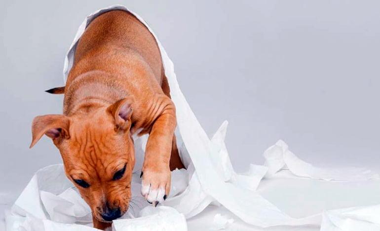 Pourquoi mon chien mange-t-il du papier? Les causes