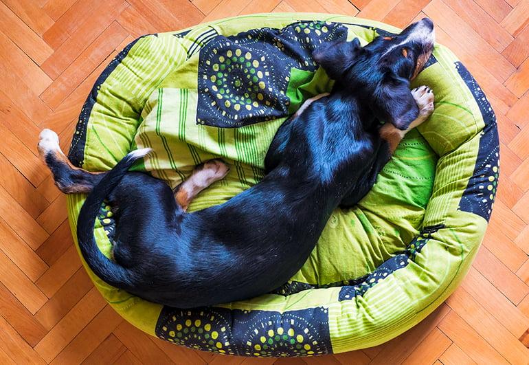 Pourquoi les chiens tournent-ils en rond avant de dormir?