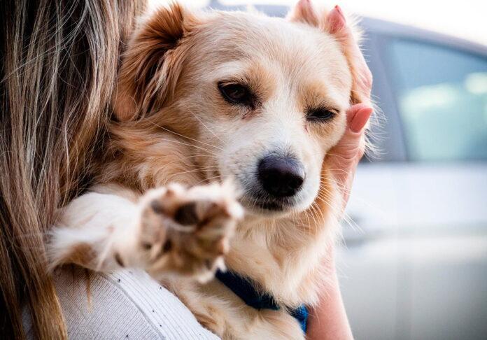 Comment voyager avec un chien en voiture selon la loi