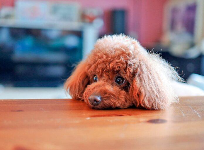 Pourquoi les chiens veulent-ils toujours manger?