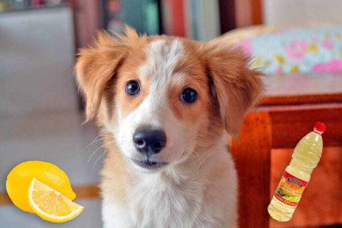 Répulsifs naturels pour l'urine de chien