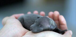 perro-recien-nacido-en-manos