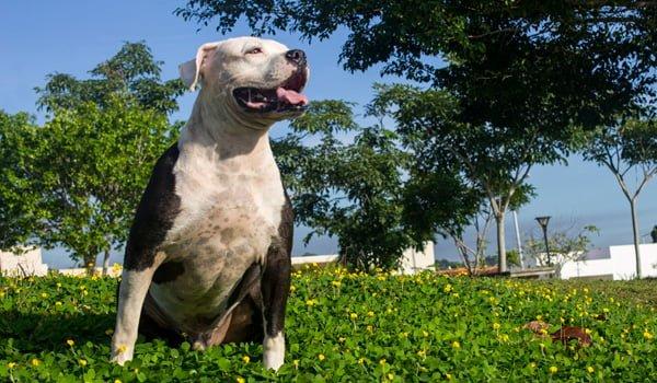 Pitbull colby cómo perro guardían