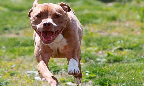 perro american pitbull terrier corriendo