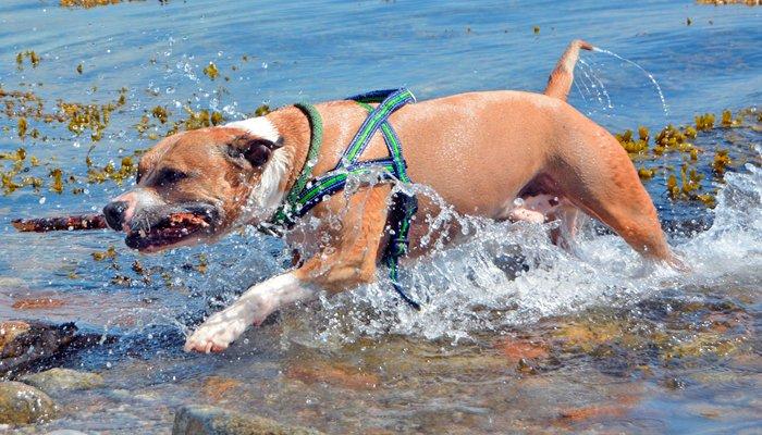 pitbull-jugando-agua