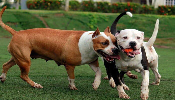 perros pitbull socializandose
