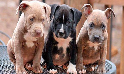 cachorros de pitbull de diferente color