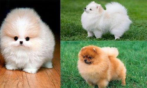 perros lulu pomerania