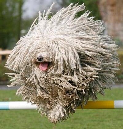 perro rastafari saltando