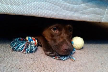 perro bajo la cama con juguetes