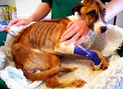 perro con síntomas de Addison
