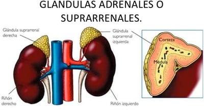 glandulas suprarrenales de addison en perros