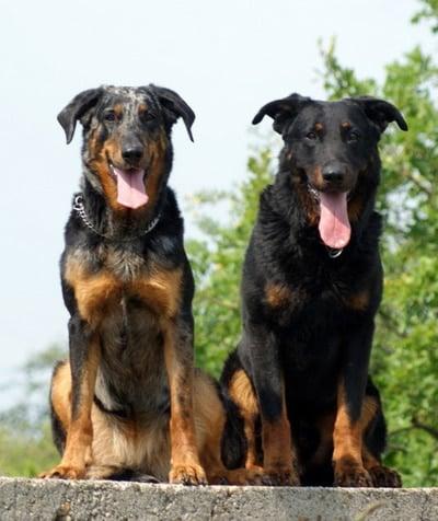 pareja de perros Beauceron