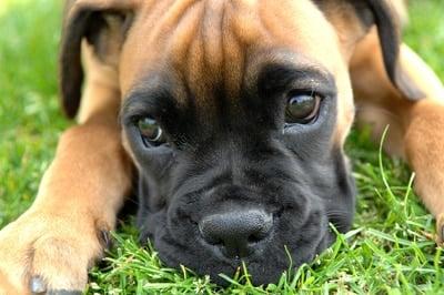 cachorro de boxer