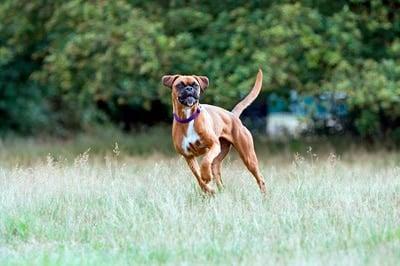 perro boxer jugando