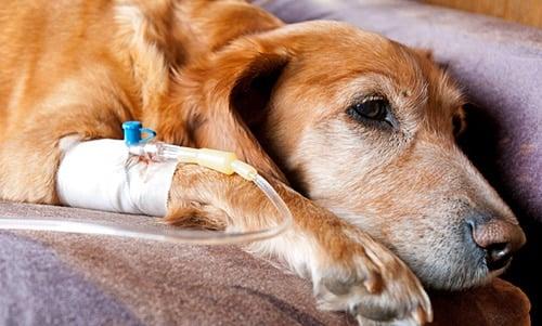 perro con cancer recibiendo quimioterapia