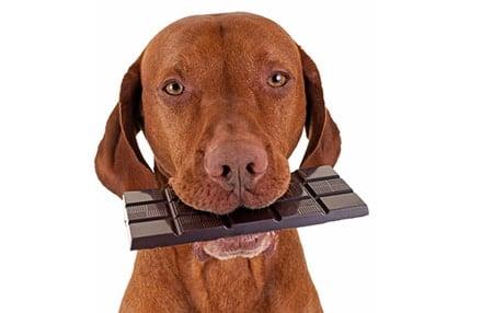 perro comiendo tableta de chocolate