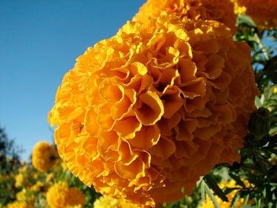 Cempasúchil flor