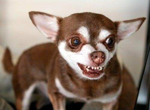 perro enfadado que gruñe y enseña los dientes