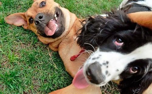 perros jugando y gruñendo