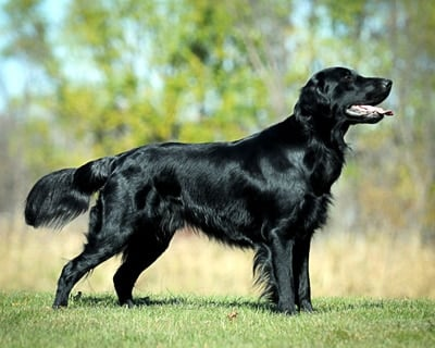 Flat-Coated-Retriever-1