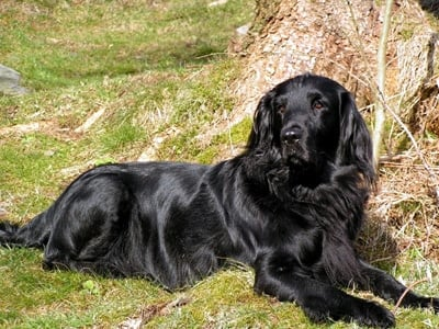 Flat-Coated-Retriever-3