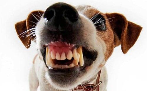 perro que gruñe y enseña dientes