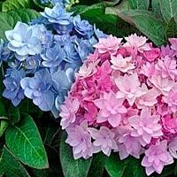 Hortensia venenosa para perros