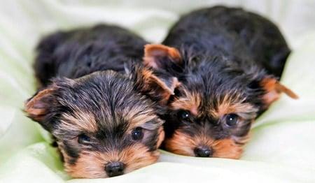 cachorritas de yorkshire