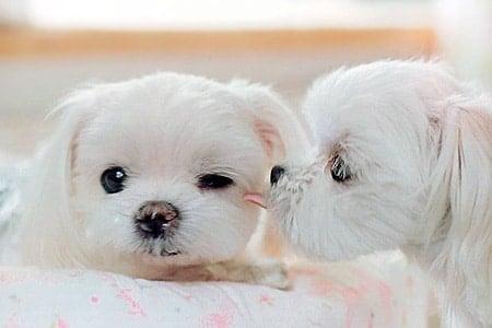 cachorros originales